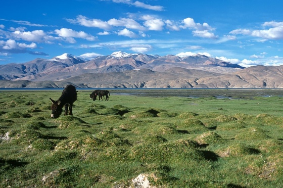 Grasslands near Tso Moriri